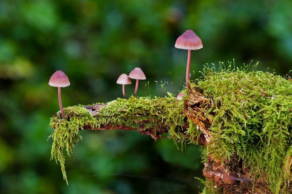 mushroom- adege, Pixabay