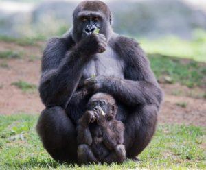 gorilla- 272447, Pixabay