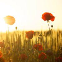 POPY sunset-Dani Geza, Pixabay