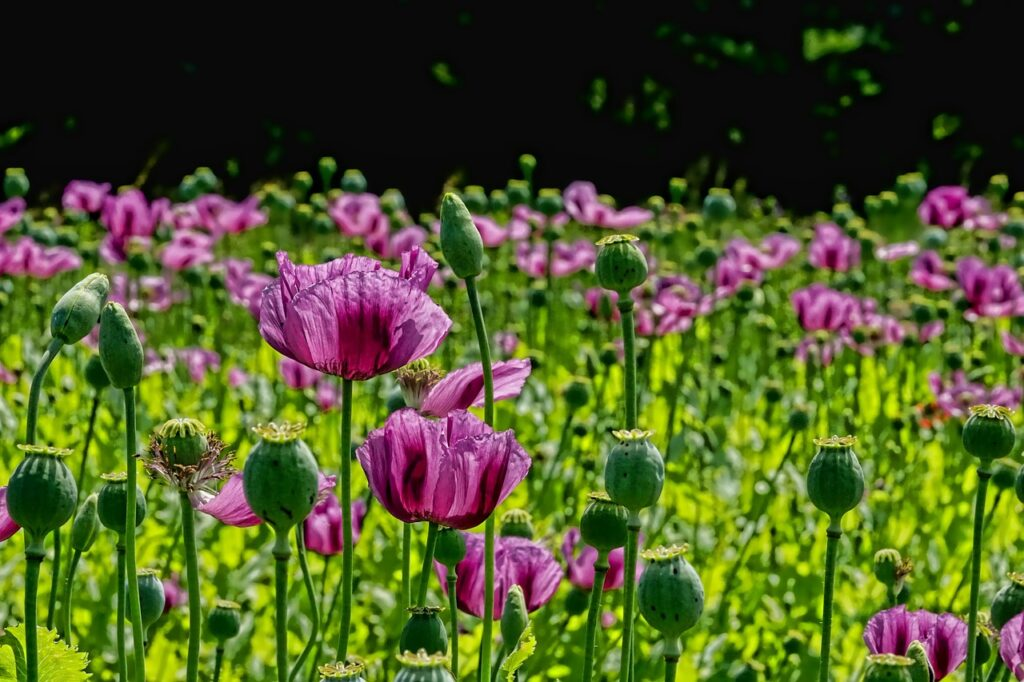 poppy-flower-Schwoaze, Pixabay
